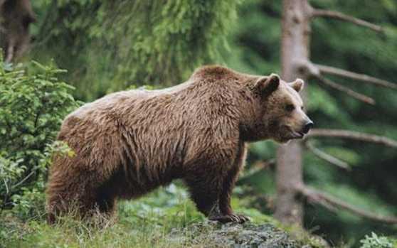 orso-della-russia